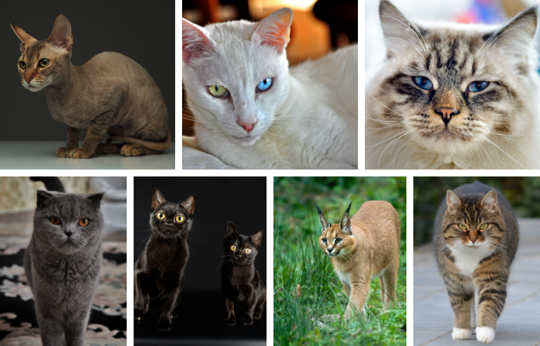 The 10 Rarest Cat Breeds in the World
