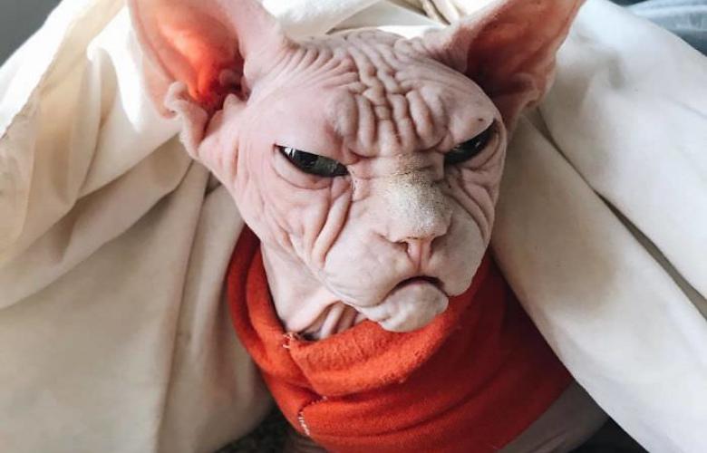 The Newest Grumpy Cat, Meet Loki