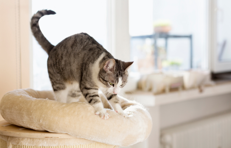 Vet's Corner: Why Do Cats Knead Their Paws?